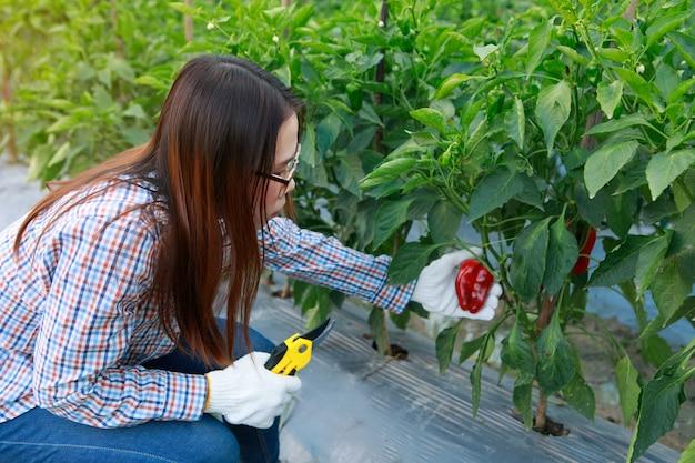 Landwirternte-gelbpfeffer des jungen mädchens. landwirtschaft und nahrungsmittelproduktionskonzept.