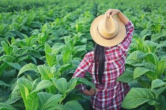 Landwirtfrau schaut Tabak auf dem Gebiet.