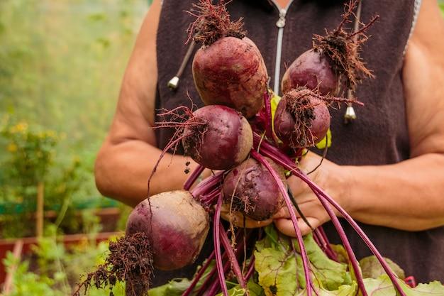 Landwirthände, die ein bündel kürzlich geerntete rote-bete-wurzeln halten. gartenarbeit. frau mit organischen rote-bete-wurzeln im gemüsegarten.