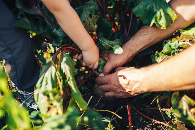 Landwirthände, die ein bündel kürzlich geerntete rote-bete-wurzeln und einen gartenspaten halten