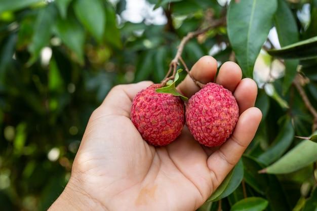 Landwirtschaft der litschifrucht in thailand