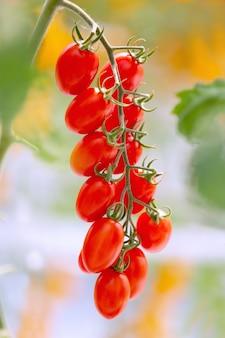 Landwirtschaft des neuen reifen plantagenwachstums der roten und gelben tomaten im organischen gewächshausgarten bereit zu ernten.