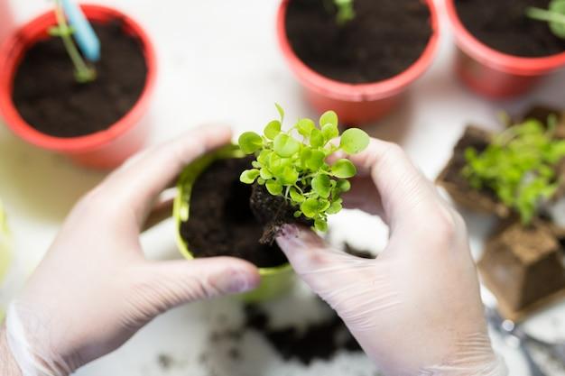Landwirtschaft. die hände des jungen mannes schließen nah und pflanzen die sämlinge in behälter mit dem boden.