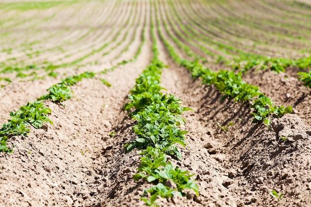 Landwirtschaft grüne kartoffelfurche gepflügtes land, auf dem kartoffeln nahe der frühlingssaison wachsen