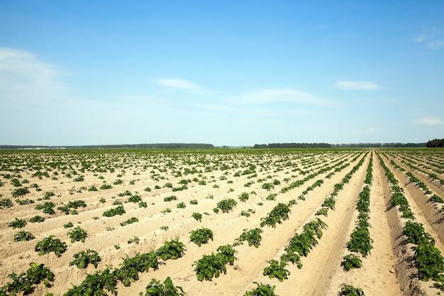 Landwirtschaft, kartoffelfeld landwirtschaftliches feld, auf dem grüne kartoffeln wachsen. sommerzeit