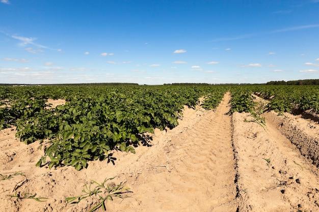 Landwirtschaft, kartoffelfeld landwirtschaftliches feld, auf dem grüne kartoffeln wachsen