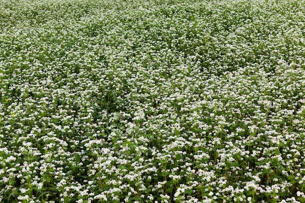 Landwirtschaft mit dem anbau von buchweizen mit weißen blüten, weiße buchweizenblüten während der blüte auf einem landwirtschaftlichen gebiet