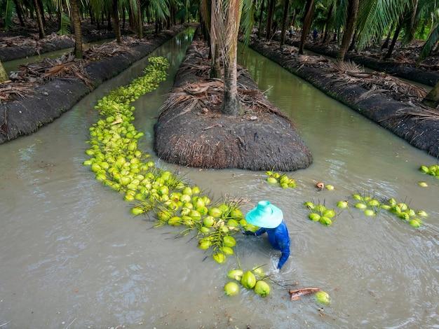 Landwirtschaftliche ernte von parfümkokosnuss durch schwimmen im wasser. parfüm kokosnuss ban phaeo die
