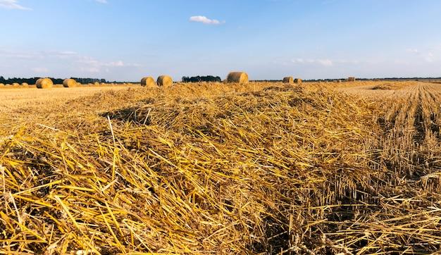 Landwirtschaftliche felder mit frischen stoppeln nach der ernte von weizen oder roggen