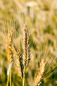 Landwirtschaftliche felder mit getreide
