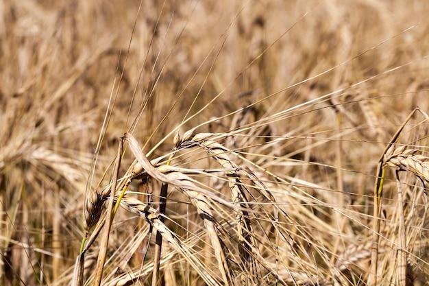 Landwirtschaftliche felder mit trockenem getreide