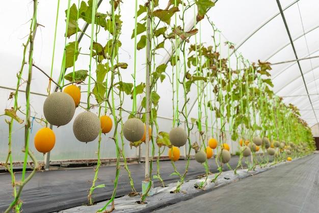 Landwirtschaftliche industrie des wassermelonenanbaus in gewächshäusern