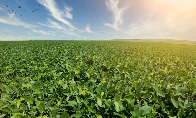Landwirtschaftliche sojaplantage am sonnigen tag