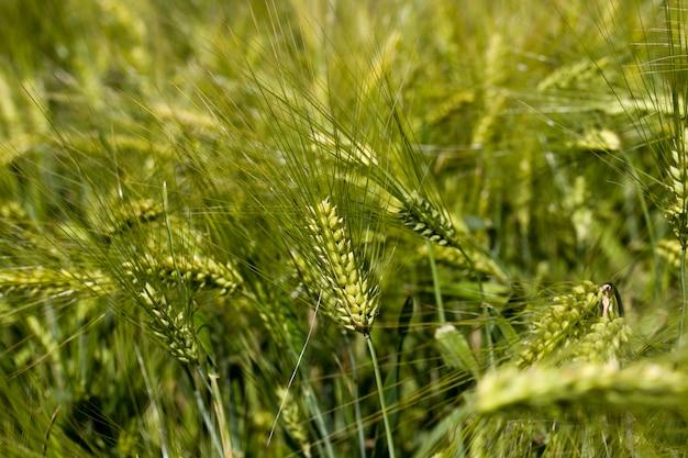 Landwirtschaftliche tätigkeit für den weizenanbau