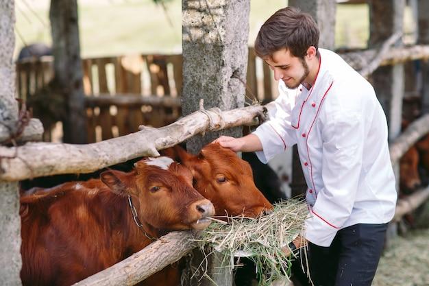 Landwirtschaftlicher bauernhof, füttert ein mann kühe mit heu.
