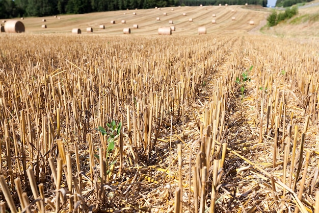 Landwirtschaftlicher bereich, in dem weizenstroh in stapeln für landwirtschaftliche tätigkeiten und landwirtschaftliche betriebe gesammelt wird