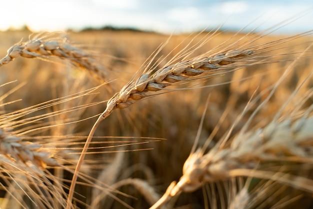 Landwirtschaftlicher bereich. reife weizenähren. das konzept einer reichen ernte.
