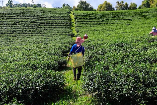 Landwirtschaftlicher bereich und landwirt des grünen tees am doi chaing rai thailand