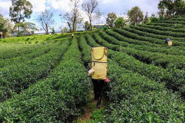 Landwirtschaftlicher bereich und landwirt des grünen tees bei doi chaing rai thailand