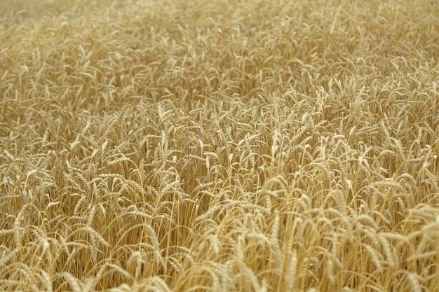 Landwirtschaftlicher hintergrund. reife goldene ährchen von weizen auf dem feld