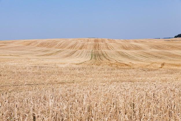 Landwirtschaftliches feld, auf dem der reife gelbe weizen geerntet werden soll, blauer himmel, eine kleine schärfentiefe
