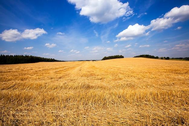 Landwirtschaftliches feld, auf dem dort die erntegesellschaft von weizen passierte