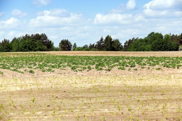 Landwirtschaftliches feld, auf dem grüne kartoffeln, frühling, blauer himmel wachsen
