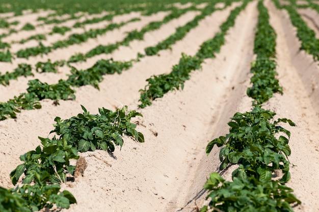 Landwirtschaftliches feld, auf dem grüne kartoffeln wachsen