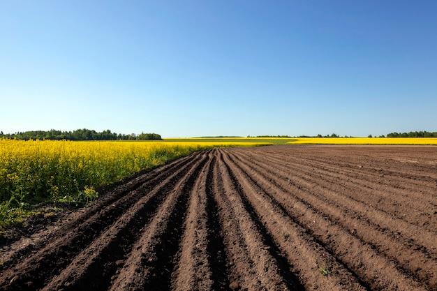 Landwirtschaftliches feld, auf dem kartoffeln wachsen. furche