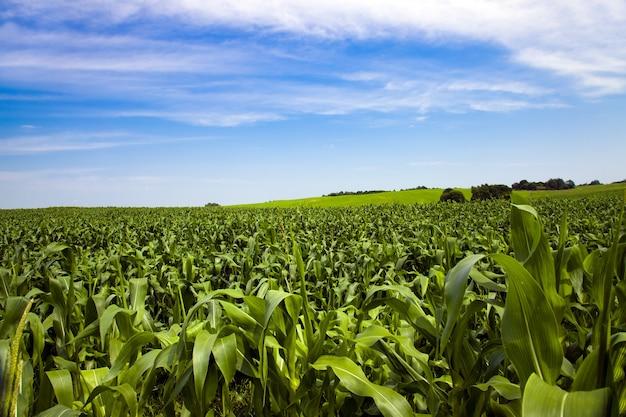Landwirtschaftliches feld, auf dem mais angebaut wird