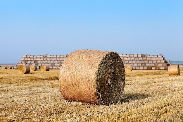 Landwirtschaftliches feld, auf dem nach der weizenernte strohheuhaufen gestapelt werden