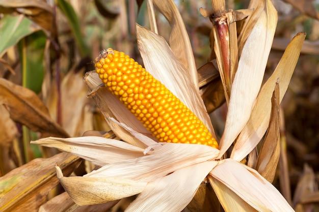 Landwirtschaftliches feld, auf dem reife maiskolben wachsen, die zur ernte bereit sind. das foto wurde in der herbstsaison nahaufnahme gemacht. kleine schärfentiefe.
