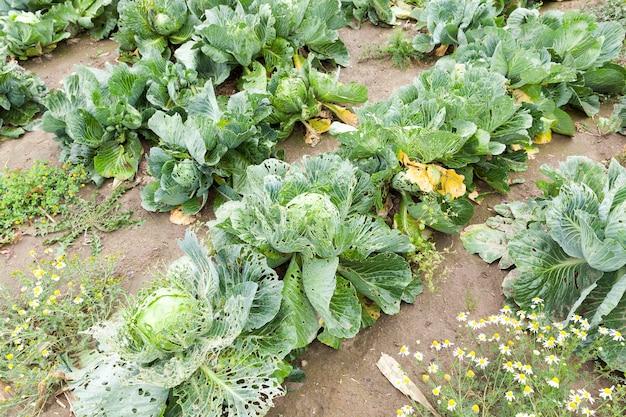 Landwirtschaftliches feld, auf dem reifer grünkohl wächst.