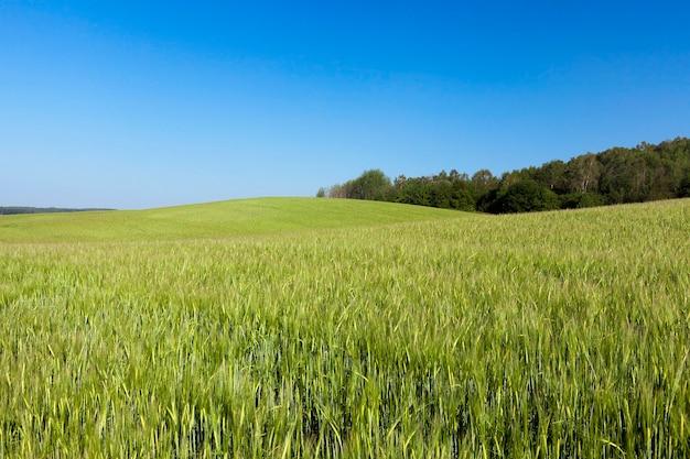 Landwirtschaftliches feld, auf dem unreife junge getreide, weizen wachsen. blauer himmel im hintergrund