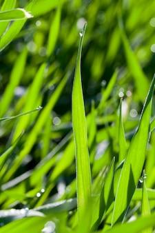 Landwirtschaftliches feld, auf dem unreife junge getreide, weizen wachsen.