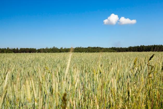 Landwirtschaftliches feld, auf dem unreife junge getreidearten wachsen