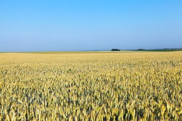Landwirtschaftliches feld, auf dem unreifer vergilbender weizen wächst. nahaufnahme genommen.