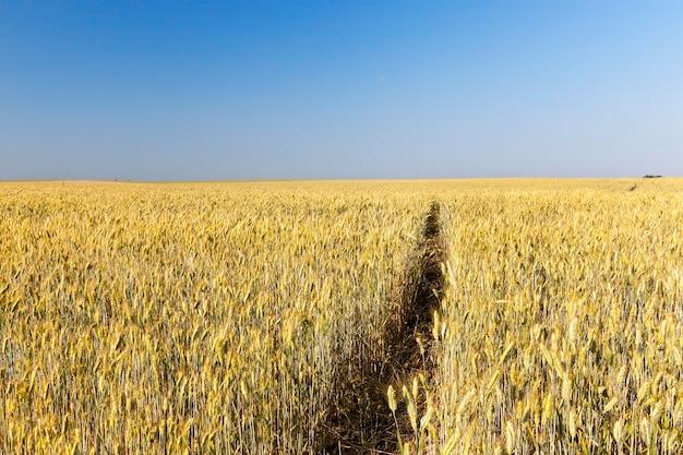 Landwirtschaftliches feld, auf dem unreifer vergilbender weizen wächst.