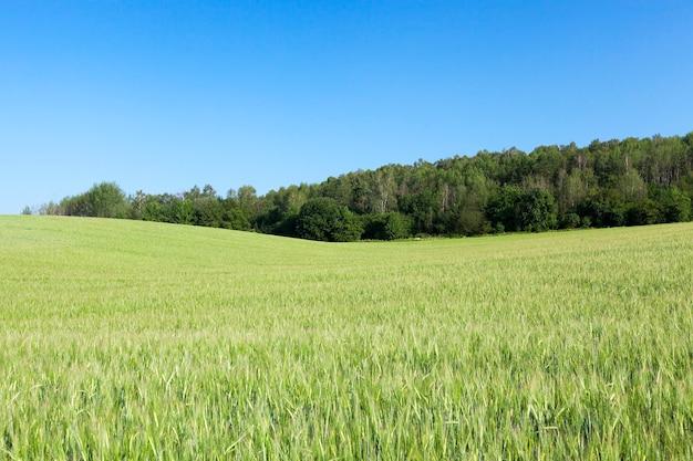 Landwirtschaftliches feld, auf dem unreifes junges getreide, weizen, angebaut wird. blauer himmel im hintergrund