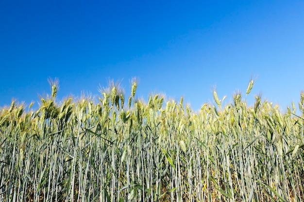 Landwirtschaftliches feld, auf dem unreifes junges getreide, weizen, angebaut wird. blauer himmel