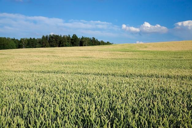 Landwirtschaftliches feld, auf dem unreifes junges getreide, weizen, angebaut wird.