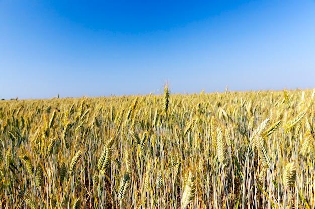 Landwirtschaftliches feld, auf dem weizen angebaut wird, der gereift und gelb geworden ist und zur ernte bereit ist. nahaufnahme mit geringer schärfentiefe im sommer.