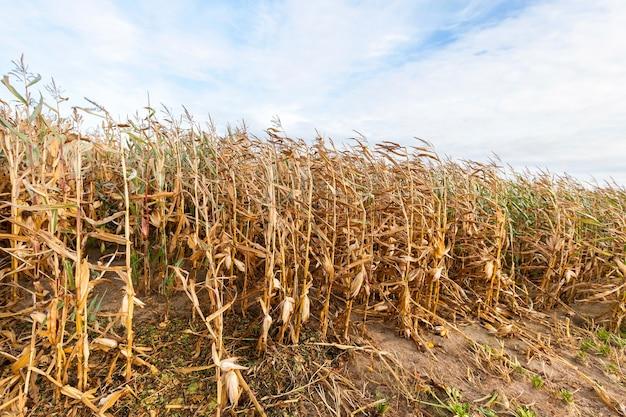 Landwirtschaftliches feld, auf dem zur sammlung vergilbter mais gegen den blauen himmel bereit wächst