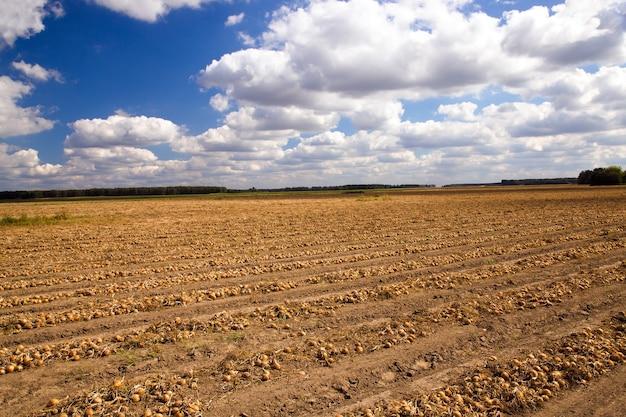 Landwirtschaftliches feld, auf dem zwiebeln geerntet werden