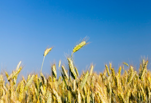 Landwirtschaftliches feld, das mit nicht reifem getreide gesät ist, eine große anzahl von pflanzen zur ernte von weizen oder anderem getreide