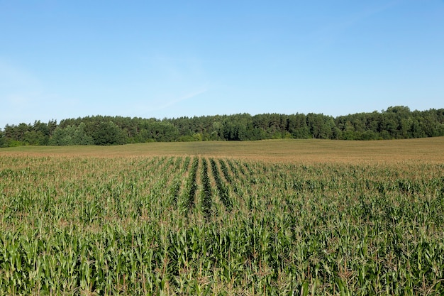 Landwirtschaftliches feld im sommer, auf dem grüner unreifer mais wächst