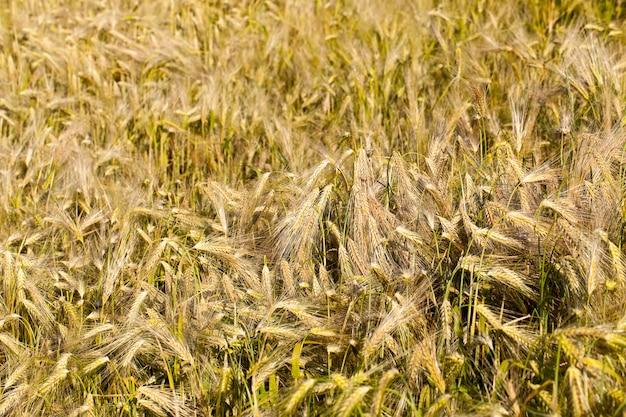 Landwirtschaftliches feld im sommer