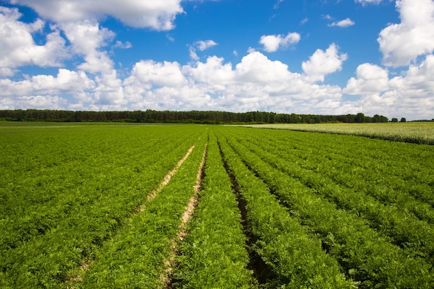 Landwirtschaftliches feld, in dem karotten angebaut wurden