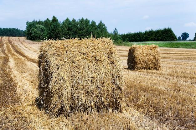 Landwirtschaftliches feld mit getreide während der ernte.