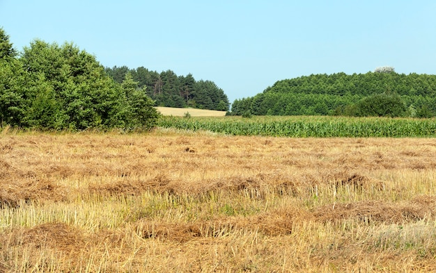 Landwirtschaftliches feld mit grünem mais, grünen bäumen am horizont, sommerlandschaft in der landwirtschaft, mais echtes süßes essen
